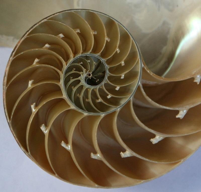 спираль фибоначчи картинки есть